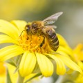 10 Benefits of Bee Pollen