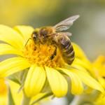 10 Benefits of Bee Pollen