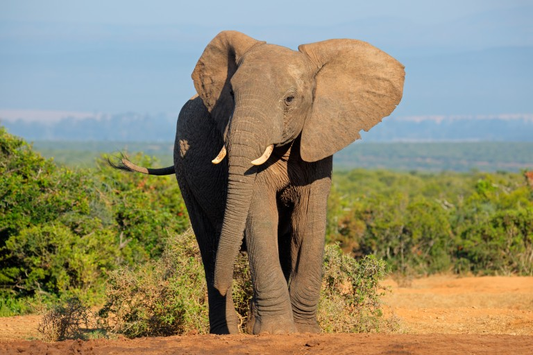 Elephants and Cancer Research