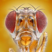 Fruit Fly Clues Help Fight Macular Degeneration