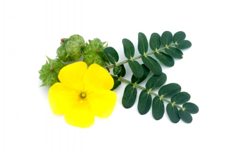 Improve Libido, Diabetes and more with these 10 Benefits of Tribulus Terrestris